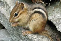 Eastern Chipmunk - This red-rumped rodent is the only chipmunk in most of eastern North America. The color of back varies from pale brown in southern Ontario, to dark red Appalachian forms, and brightly colored animals in the southwest of their range.
