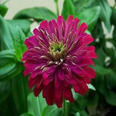 50+ Zinnia Purple Prince Flower Seeds , Under The Sun Seeds