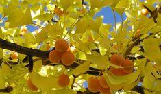 Halk arasında beyin ağacı olarak bilinen ginkgo biloba; üzerinde devamlı araştırma yapılan, faydaları ve...