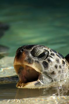 Sea turtle - Are you yawning? Go ahead and sleep if you need to.