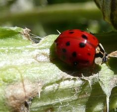 Natural biological pest control..spotted in my garden..chomp away Lady~