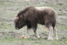 Baby musk oxen