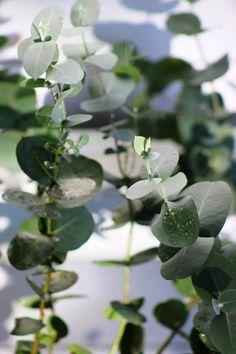 Eucalyptus Elliptica 'Grace'