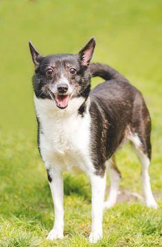 Meet Muffet (141170) a Petfinder adoptable Terrier|Schipperke mix Longview, WA | Muffet (ID#141170) is an un-spayed, female, terrier mix. She is an 8yr old adult but still very...