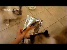 Ragdoll Cats Receive Whole Life Pet Treats Shipment - ねこ - ラグ - Floppycatshttp://youtu.be/LhUtEd_NF7A