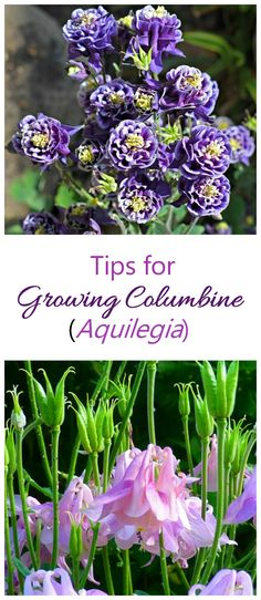 tips for growing columbine - Aquilegia. Bell shaped flowers that are very showy #columbine #aquilegia #perennials