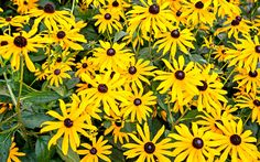 Rudbeckia  Rudbeckia is also known as Black Eyed Susan and has daisy-like flowers, usually in yellow or orange with a distinctive dark seed head. Perennial rudbeckias are easy to grow in well drained soil in full sun or light shade.  They keep on flowering throughout late