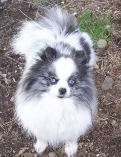 Blue Merle Pomeranian with beautiful blue eyes