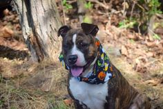 """BRAWNIE aka NICE - A1090602 - - Staten Island  Please Share:TO BE DESTROYED 10/07/16**BRAWNIE IS BACK ON LIST WITH A BRAND NEW LOOK!** Wow. Talk about a perfect storm. Dog is lost. Dog sees cat. Dog goes after cat. Stranger tries to intervene. We all know the ending to this one. Trying to break up a fight between animals is risky when you KNOW the animals in question. Despite having his heart in the right place, the """"finder"""" wound up in the middle and he and the"""