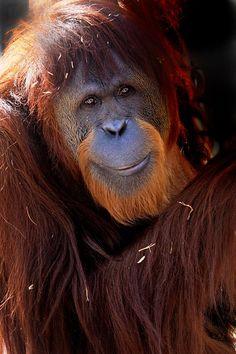 indianapolis zoo orangutan death