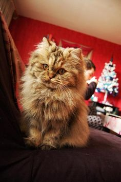 #cat #kitty #persian. am i a mean person for saying the cat looks like it's about to hurl? it's still cute
