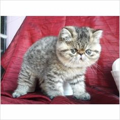 The Animals, Cute Baby Animals, Beautiful Cat Breeds, Beautiful Cats, Persian Kittens, Cats And Kittens, Pretty Cats, Cute Cats, Cutest Kittens Ever