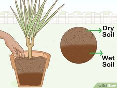 5 Ways to Care for a Madagascar Dragon Tree - wikiHow Dragon Tree Care, Dragon Tree Plant, Buy Indoor Plants, Indoor Trees, Outdoor Plants, Air Plants, Indoor Outdoor, Madagascar Dragon Tree, Dragons