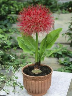Scadoxus multiflorus (Blood Lily) Scadoxus multiflorus (Blood Lily) is a popular geophyte that grows from a rhizomatous bulb. Unusual Plants, Exotic Plants, Tropical Plants, Flower Planters, Garden Planters, Cacti And Succulents, Planting Succulents, Amazing Flowers, Love Flowers