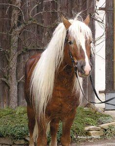 Mountain Forest - Haflinger stallion