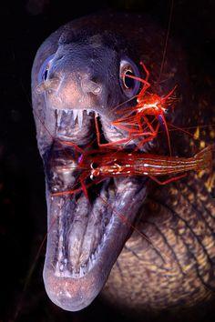 Moray and Cleaner Shrimp by Sergi Garcia