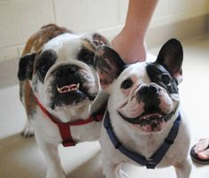 Frenchie and English bulldogs looking for a forever home...