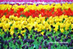 Flower Photography Tulip Fields Tulip by LDTwedePhotography