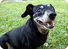 ★11/14/14 STILL LISTED!!★Weston, FL - Dachshund Mix. Meet Curtis, a dog for adoption. http://www.adoptapet.com/pet/10361447-weston-florida-dachshund-mix