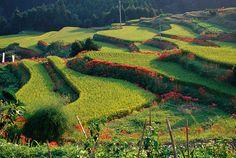 Japanese Farm with Colorful Borders - 日本人の心の風景、棚田 by Daisuke Hoshina, via Flickr