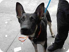 Mesa, AZ - German Shepherd Dog Mix. Meet A3687372, a dog for adoption. http://www.adoptapet.com/pet/14300851-mesa-arizona-german-shepherd-dog-mix