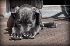 How to Love a Cane Corso | PetHelpful