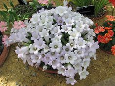 Alpine plants for a rockery - Campanula carpatha