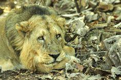 Gir National Park, Gujarat India