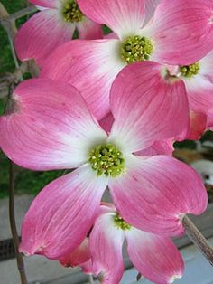 Pink Dogwood - One of my favorite flowers!