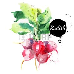 Radish with leaf - Hand drawn #watercolor painting on white background.