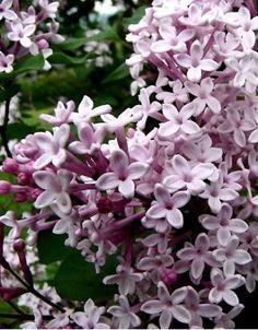 Syringa  Josée - Fleurs