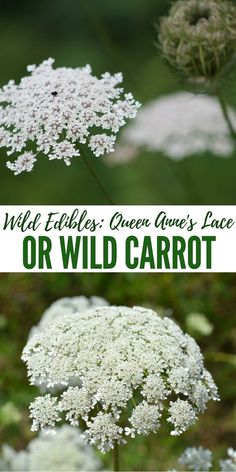 Wild Edibles: Queen Anne's Lace or Wild Carrot - You should be careful of wild carrot because there is a look a like called poison hemlock and it is dangerous. This stuff will ruin your day and even worse depending on how much you eat. The tops look very similar to wild carrot and the root is a white carrot shaped vegetable. Keep an eye out for wild carrot but be cautious of poison hemlock.