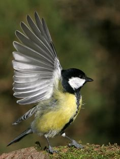 Fantastic photo of this great tit! #birdwatch #pinittowinit