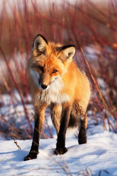 This Fox by Thomas-Koidhis.deviantart.com on @deviantART