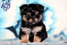 118 Best Yorkie Mix Puppies For Sale Images Puppies For Sale