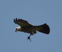 This Mississippi kite snacks on a dragonfly in midair at Caw Caw Interpretive Center in Ravenel, South Carolina.