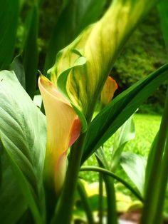 Calla Lilies, Natural, Landscape, Garden, Plants, Flowers, Lilies, Garten, Lawn And Garden