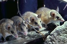 African Spiny Mouse Found to Regenerate Body Parts Just Like Salamanders and Lizards