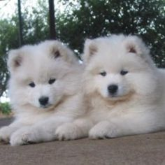 They look like little baby polar cubs!!!!!❤️