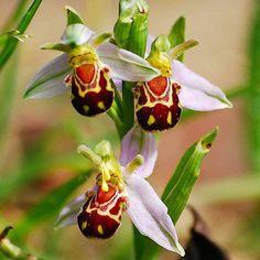 SELTEN! 50 Stück Blume Bee Orchid Blumensamen -Smiley Interessante Blumen-Seeds