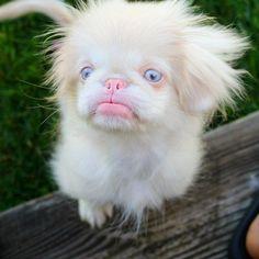 OMG, you need to know Gizmo the Albino Pup Albino Dog, Rare Albino Animals, Super Cute Animals, Cute Little Animals, Animals And Pets, Funny Animals, Dog Emotions, Rare Dogs, Pekinese
