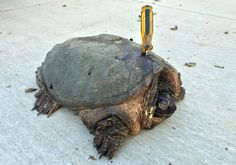 CHILLICOTHE — You know the tale about the tortoise and the hare? In beating the odds, that's nothing compared to a plucky snapping turtle in Chillicothe.