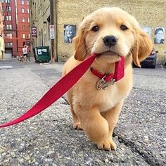 Walking your owner like..  Photo by: @selby_the_golden