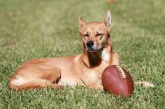 Check out Dog and Football by Green-Fly Media on Creative Market Dog Football, Sports Photos, Dog Photos, Best Dogs, Character Inspiration, Labrador Retriever, Corgi, Animals, Green