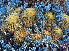 Golden Barrel cacti at the Huntington Library, San Marino, CA