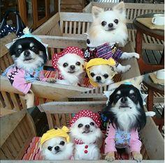 Ahh Chihuahuas! ! #chihuahua