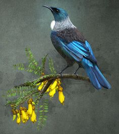 This beautiful bird is the 'Tui' which comes from New Zealand. He is sitting on the Kowhai Tree which he loves ~ Tui Bird, Zealand Tattoo, New Zealand Art, Nz Art, Maori Art, Kiwiana, Bird Drawings, Drawing Birds, Bird Pictures