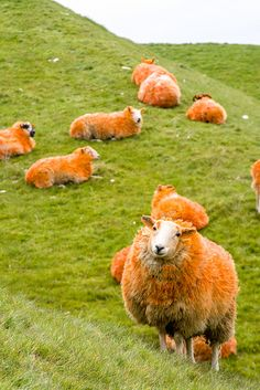 Orange Sheep Mark MS Week by MS Society Scotland, via Flickr    Now you know where orange sweaters come from.