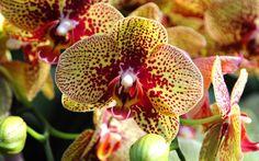 Conheça agora mais espécies de orquídeas. No detalhe, a Phalaenopsis charmer. Foto: Emma Lynch / BBC