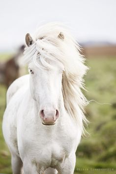 The incredible blue-eyed horses of Iceland - Iceland Monitor